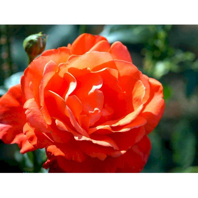 Storblomstrende Rose 'Alexander'