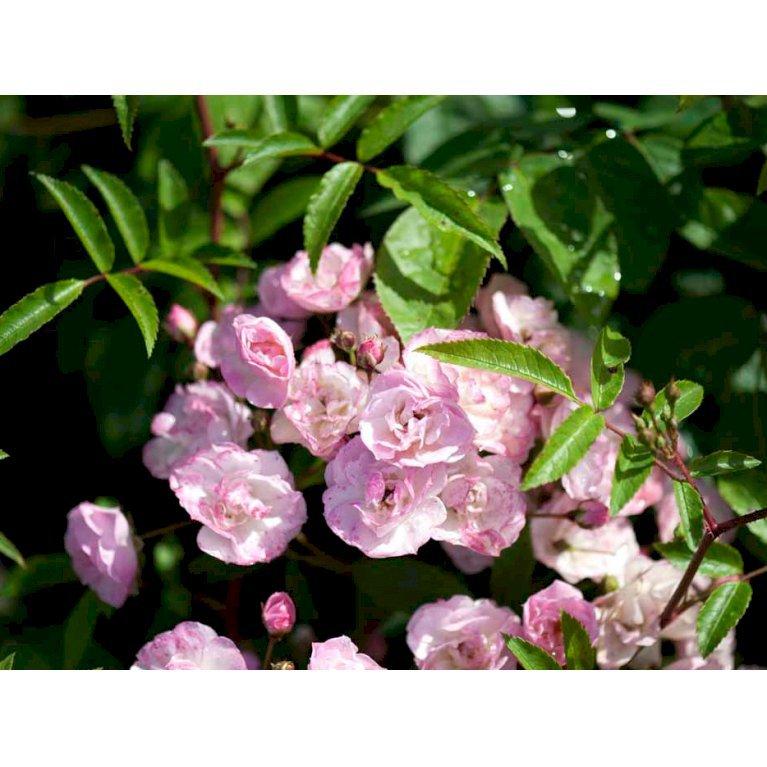 Buskrose 'Heavenly Pink'
