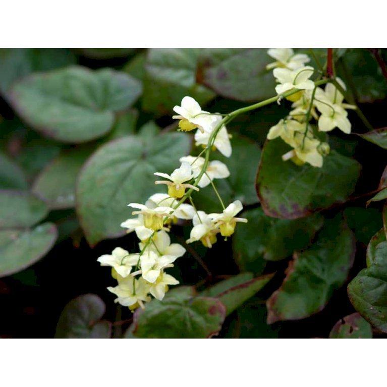 Bispehue 'Sulphureum'