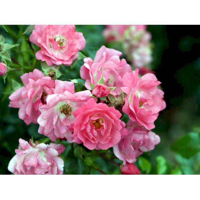 Bunddækkende Rose 'Heidetraum' ®