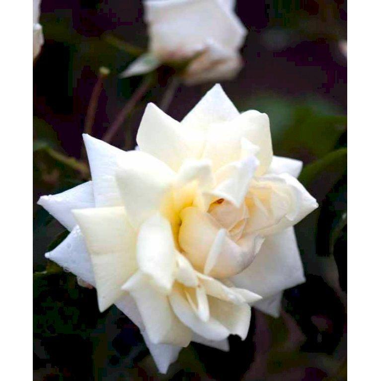 Gammeldags rose 'Ilse Krohn Superior'