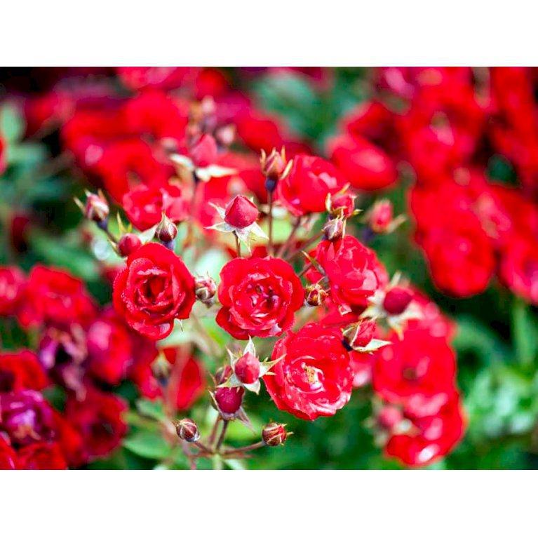 Bundækkende Rose 'Intense Cover'