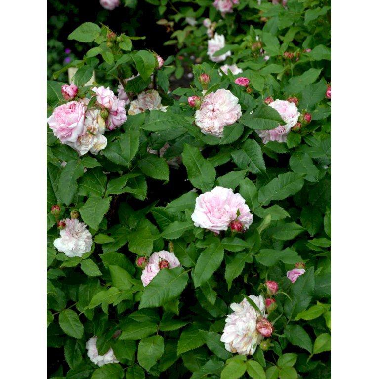 Gammeldags Rose 'Jacques Cartier'