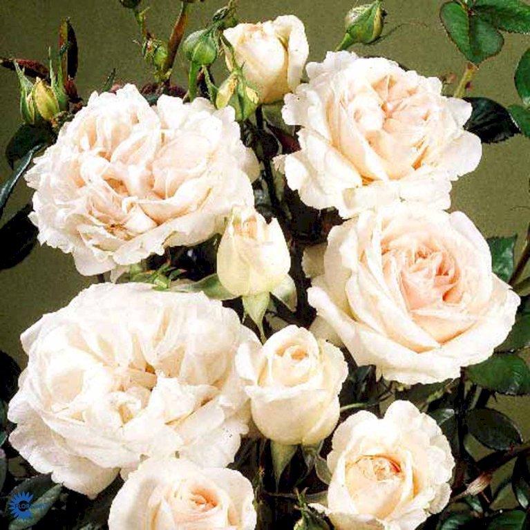 Renaissance rose 'Julia Renaissance' ®