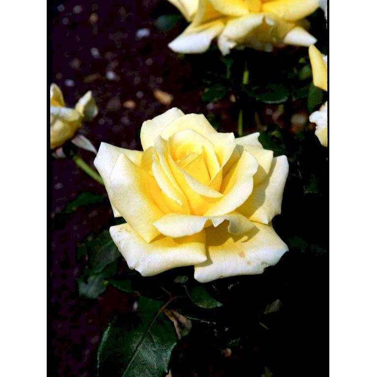 Storblomstrende Rose 'Kaj Munk'