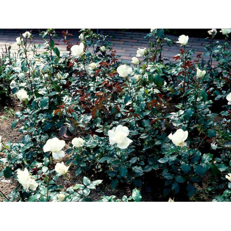 Storblomstrende Rose 'Karen Blixen'