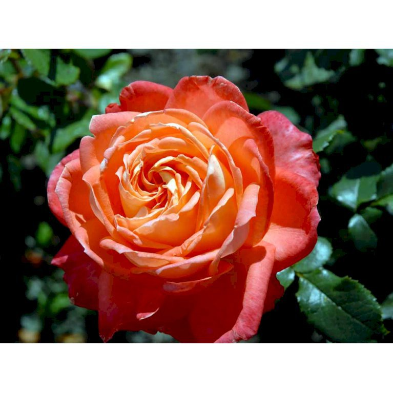 Storblomstrende Rose 'Königin der Rosen'
