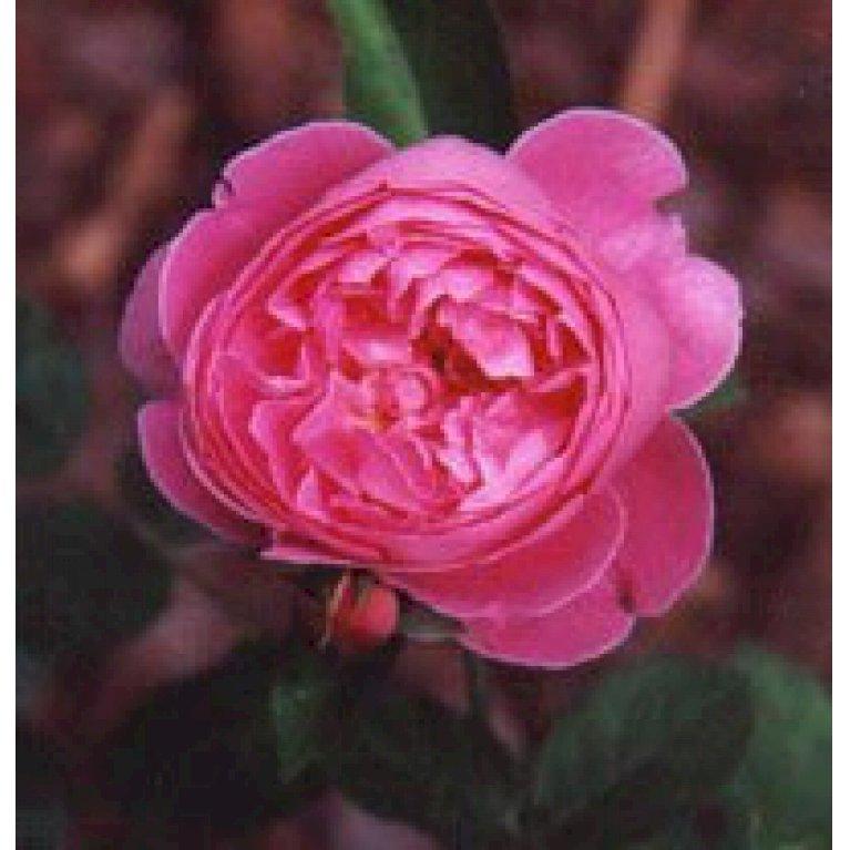 Gammeldags Rose 'Reine Victoria'