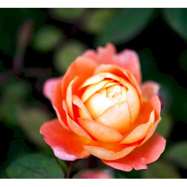 Austin rose 'Lady Emma Hamilton'