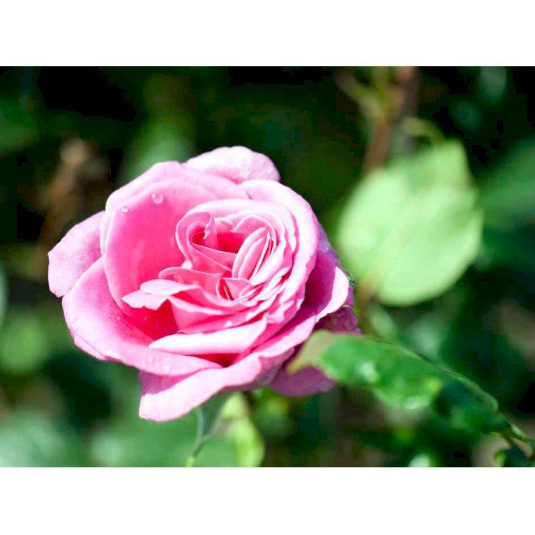Storblomstrende rose 'Lady Like'