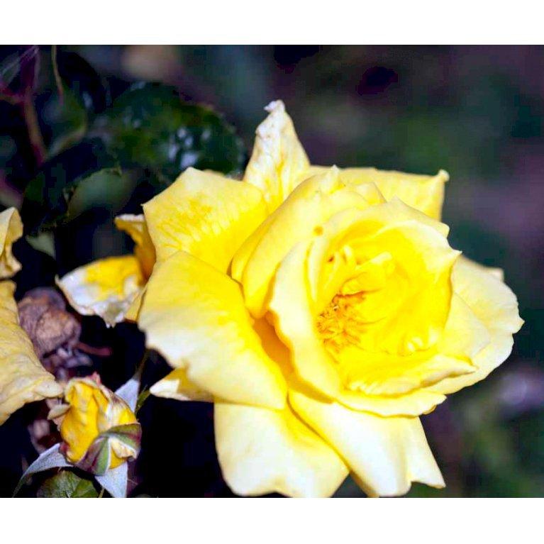 Storblomstrende Rose 'Landora'