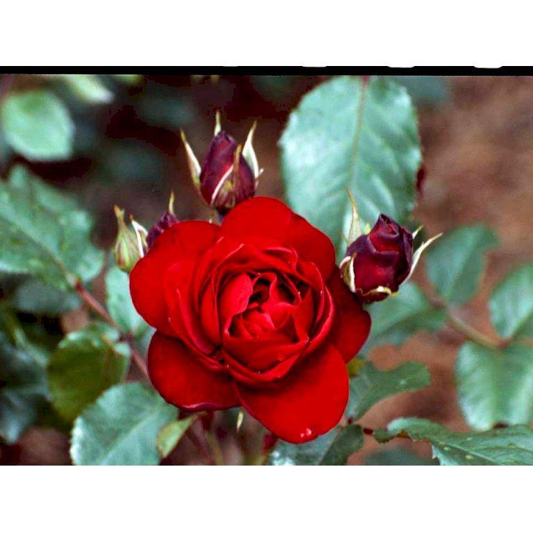 Historisk rose