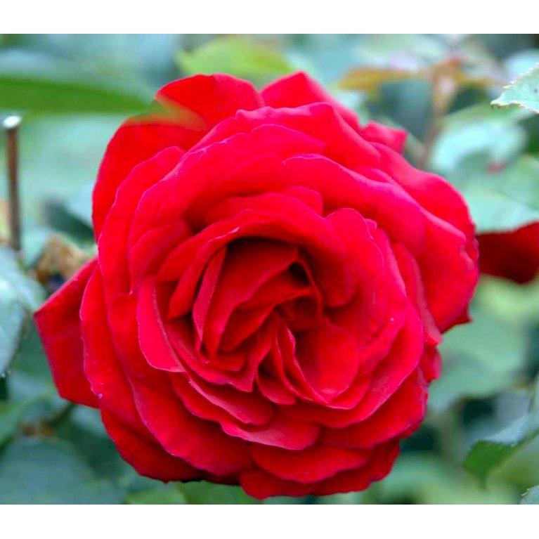 Storblomstrende Rose 'Leonora Christine'