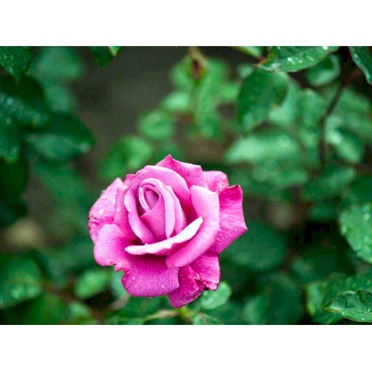 Storblomstrende rose 'Lila Wunder'
