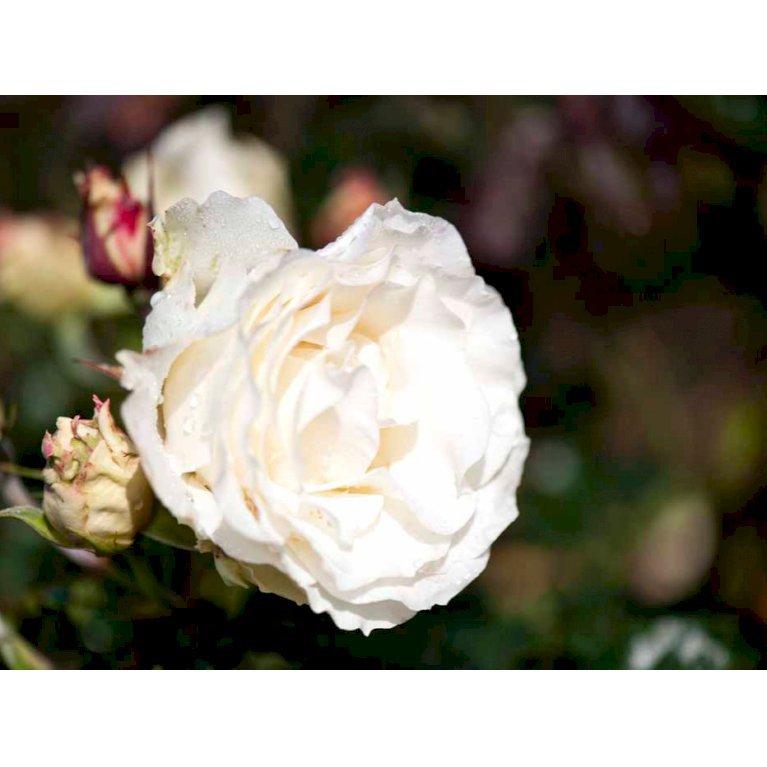 Renaissance rose 'Lina Renaissance' ®
