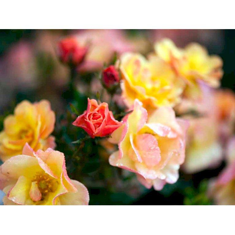 Rosa 'Linnaeus' tm poulcot010 (n)