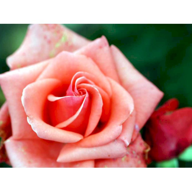 Storblomstrende Rose 'Louisiana'