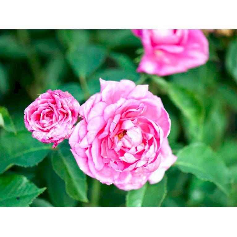 Gammeldags Rose 'Magna Charta'