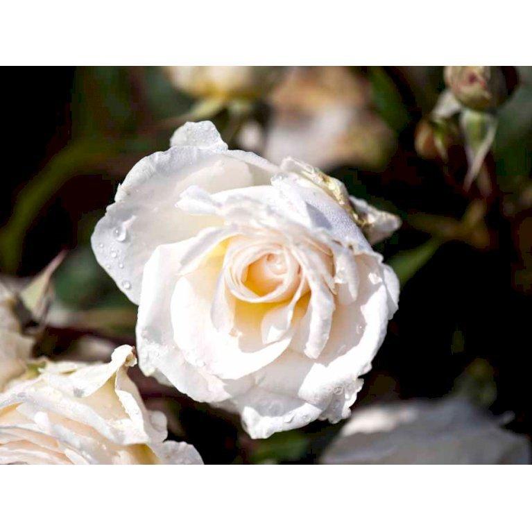 Storblomstrende rose 'Marvellous'
