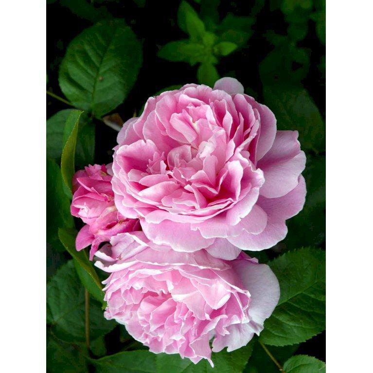 Austin 'Mary Rose'