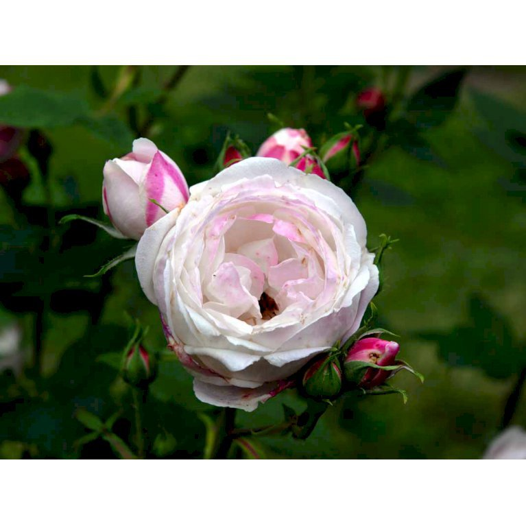 Gammeldags Rose 'Mme Pierre Oger'