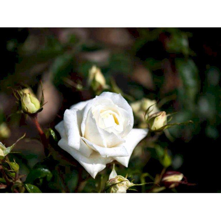 Storblomstrende rose 'Monsoon'