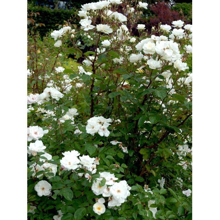 Engelsk rose