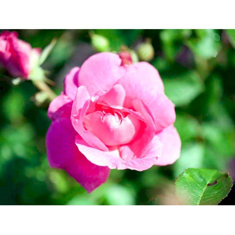 Canada Rose