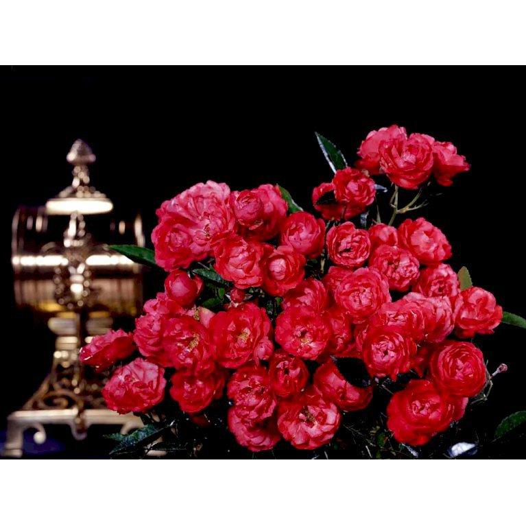 Lav rose