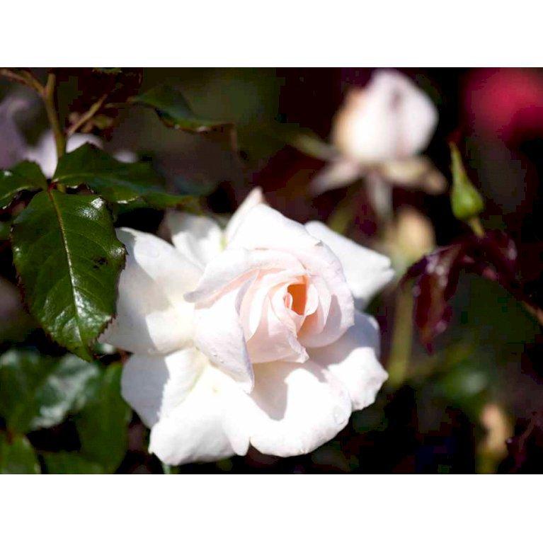 Storblomstrende rose 'Morten Korch'