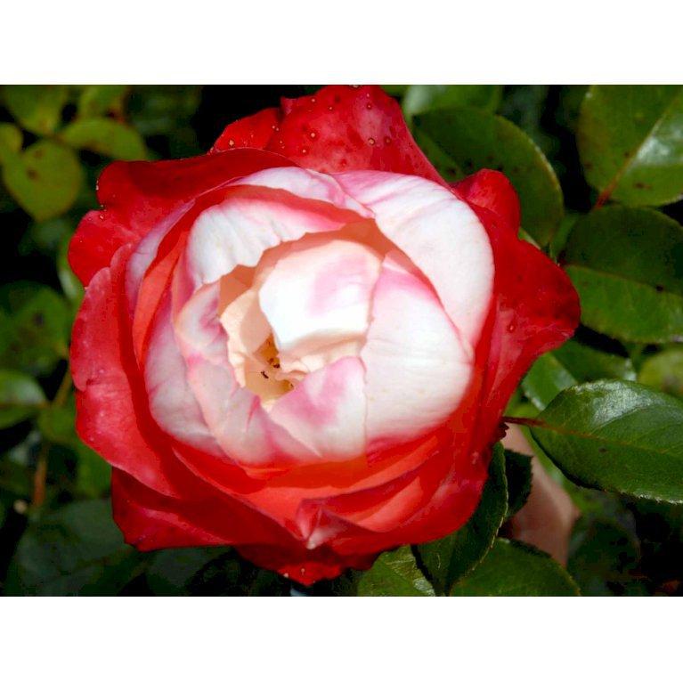 Storblomstrende Rose 'Nostalgie'