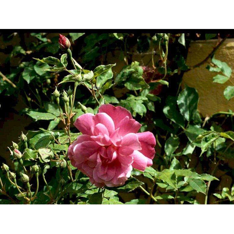 Kina rose