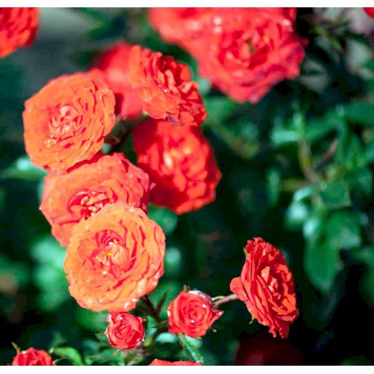 Buketrose 'Orange Juwel'