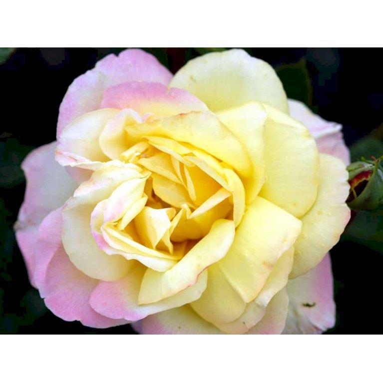 Storblomstrende Rose 'Peace'