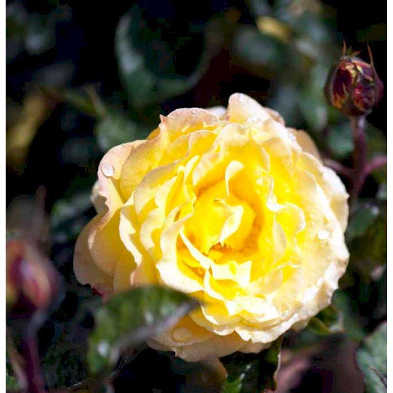 Storblomstrende Rose 'Peer Gynt'