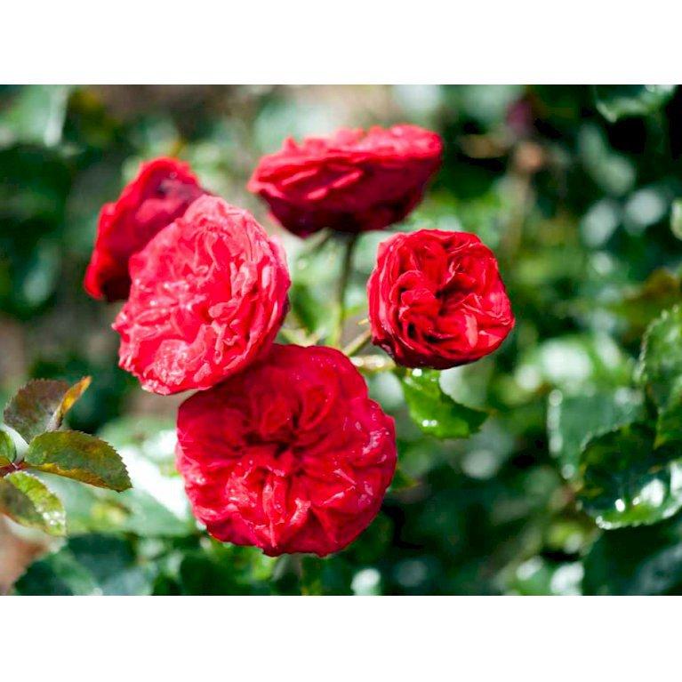 Storblomstrende rose 'Piano'