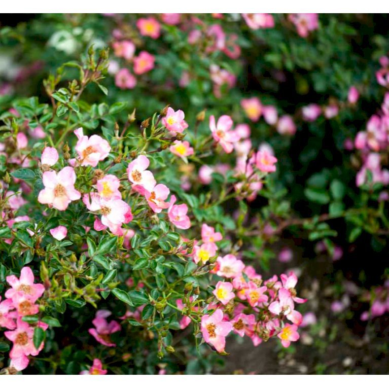Bunddækkende Rose 'Pink Cover' ®