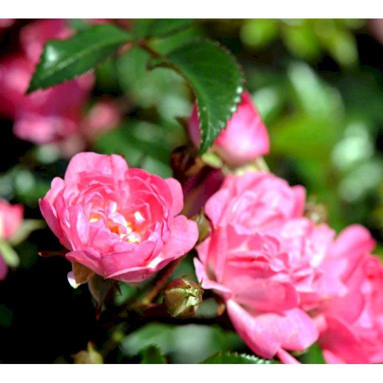 Bunddækkende rose 'The Fairy'