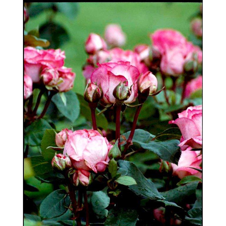 Storblomstrende Rose 'Pink Panther'