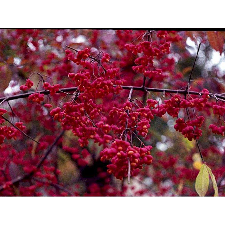 Almindelig Benved 'Red Cascade'