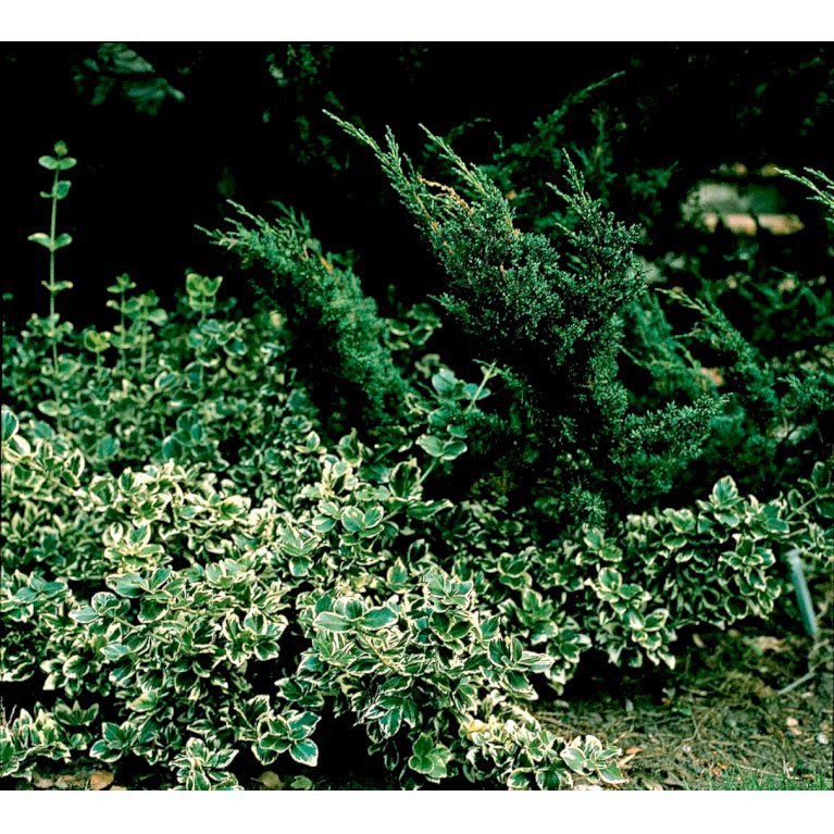 Krybende Benved 'Emerald Gaiety'