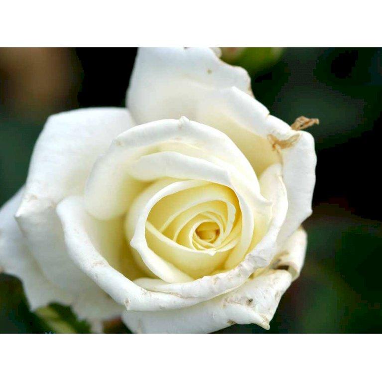 Storblomstrende Rose 'Polarstern'