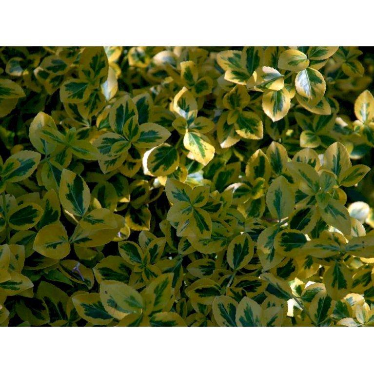Krybende Benved 'Emerald Gold'