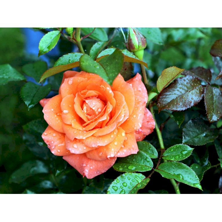 Storblomstrende rose 'Prinsesse Marie'