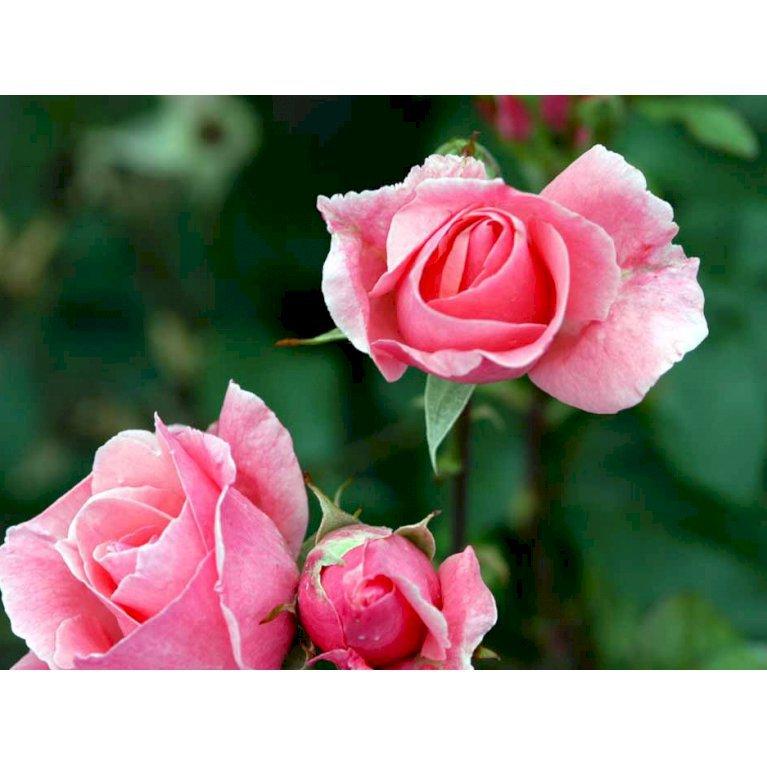 Storblomstrende rose 'Queen Elisabeth'