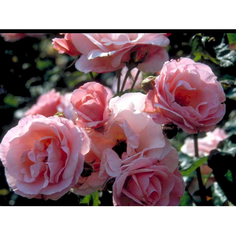 Storblomstrende Rose 'Queen Elizabeth'