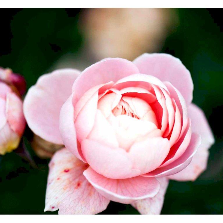 Engelsk rose 'Queen of Sweden'