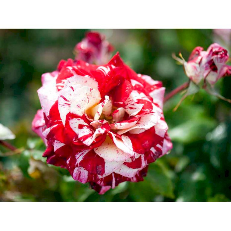 Storblomstrende rose 'Rock n' Roll