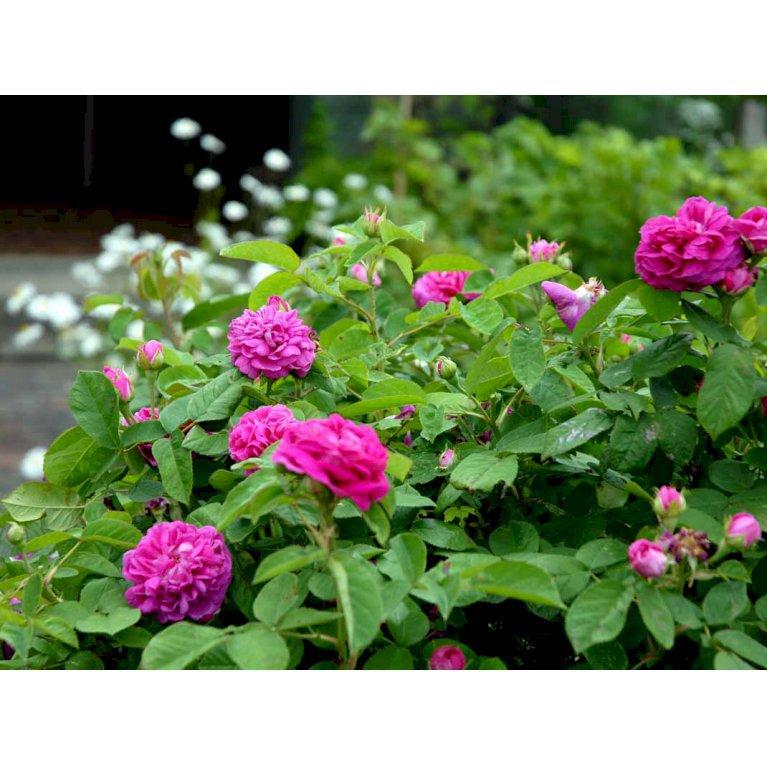 Gammeldags Rose 'Rose de Rescht'