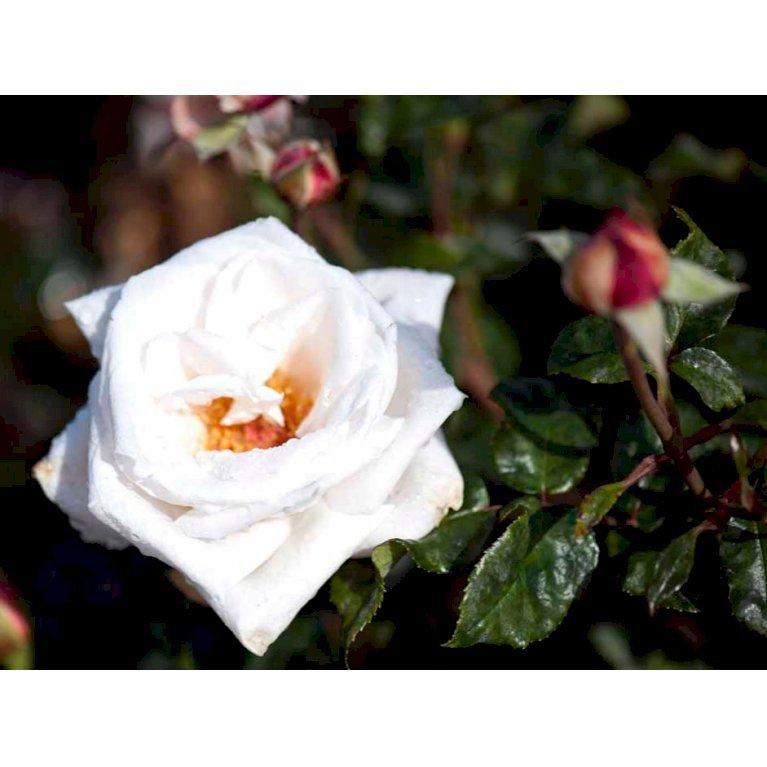 Storblomstrende Rose 'Royal Copenhagen'